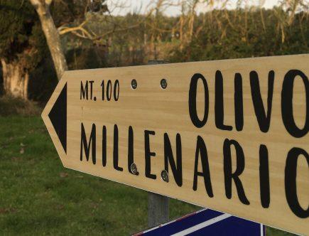 olivo millenario massarosa