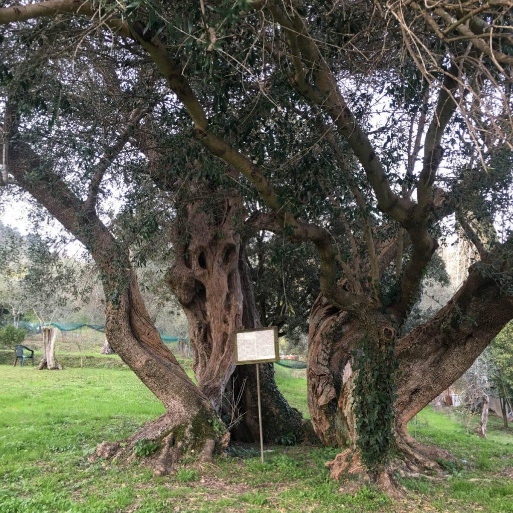 3 olivo millenario massarosa IMG_6034 ok