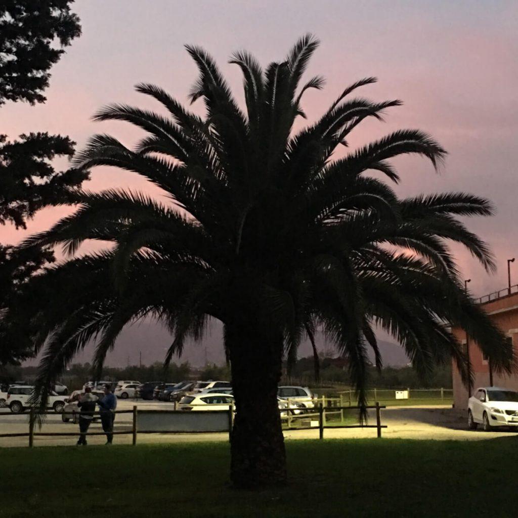 16 dettagli di toscana i templari a torre a cenaia nel parco di Villa Valery la grande palma al tramonto ok