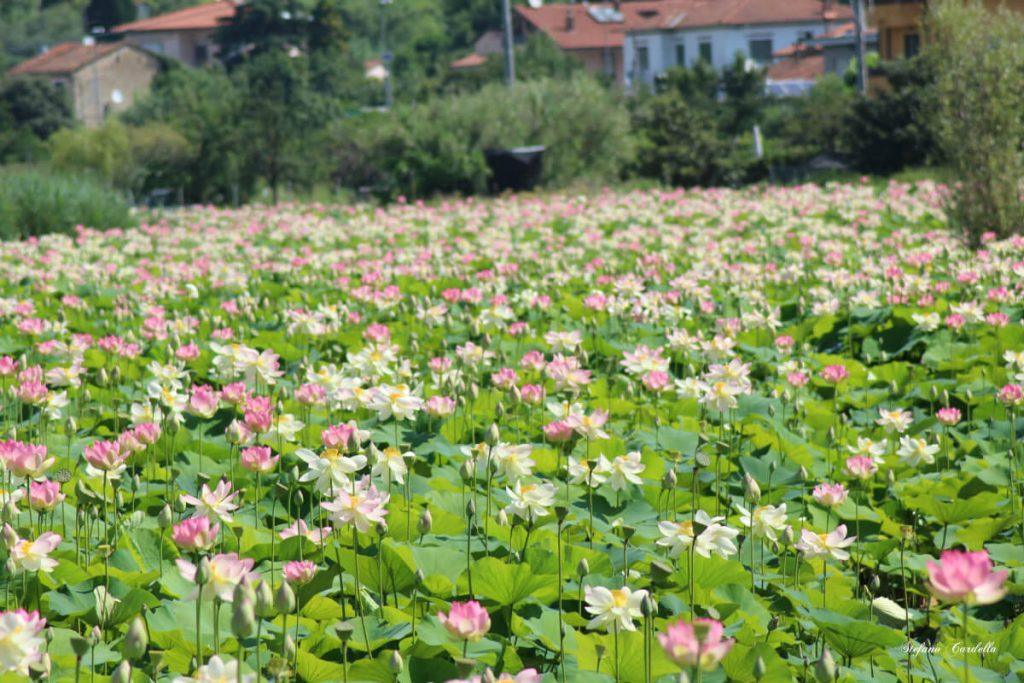 dettagli di toscana percorso fiori di loto a massarosa FOTO DI STEFANO CARDELLA IMG_0558 ok