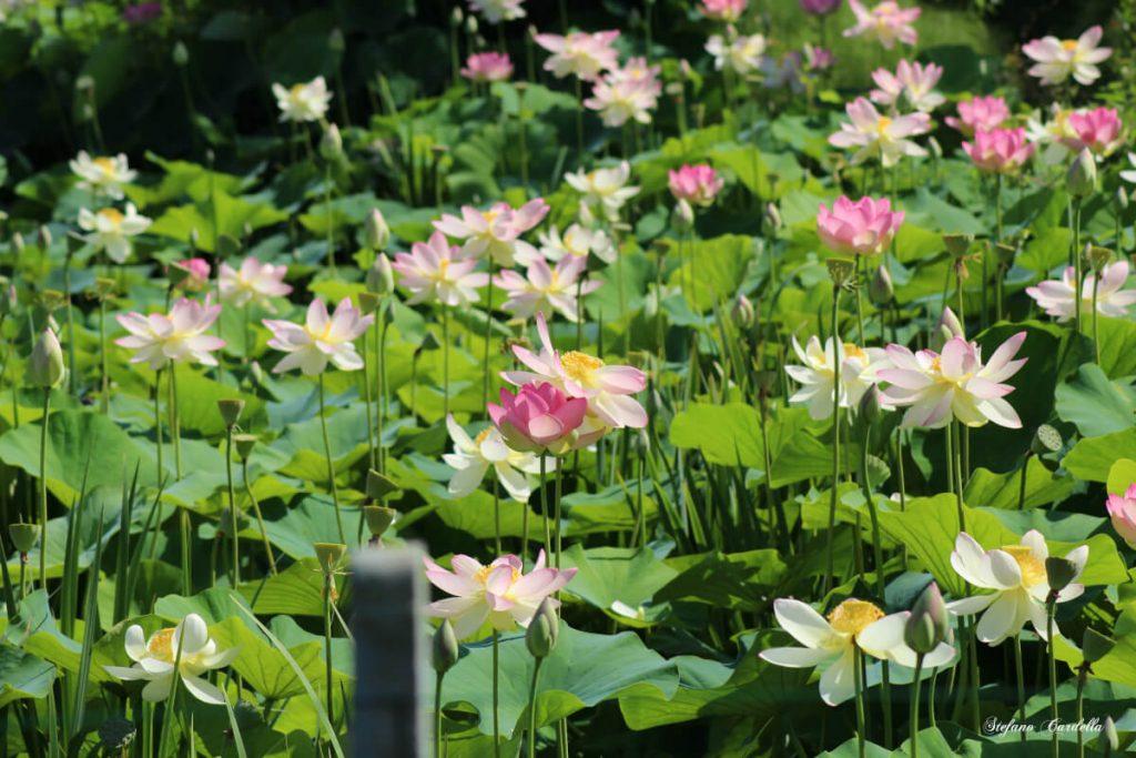 dettagli di toscana percorso fiori di loto a massarosa FOTO DI STEFANO CARDELLA IMG_0560 ok