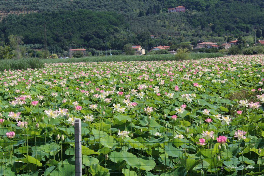 dettagli di toscana percorso fiori di loto a massarosa FOTO DI STEFANO CARDELLA IMG_0562 ok