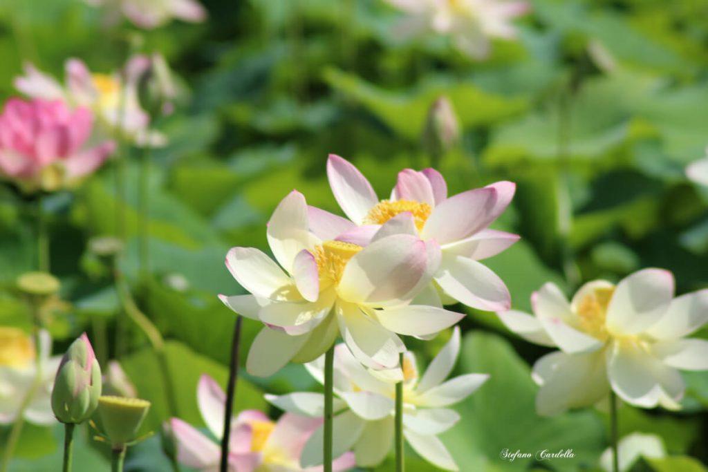 dettagli di toscana percorso fiori di loto a massarosa FOTO DI STEFANO CARDELLA IMG_0564 ok