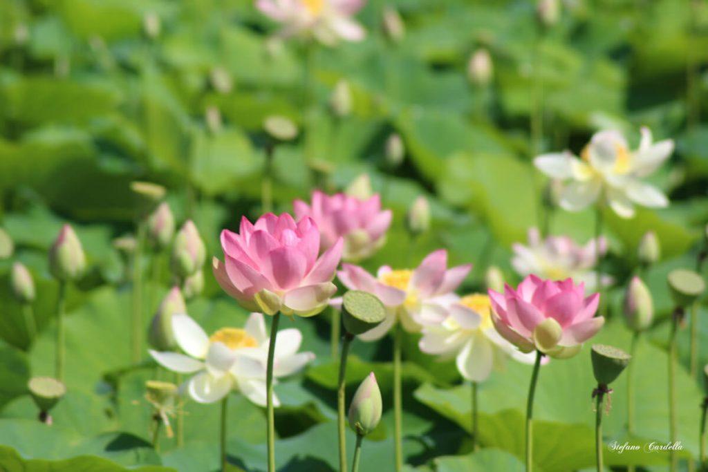 dettagli di toscana percorso fiori di loto a massarosa FOTO DI STEFANO CARDELLA IMG_0565 ok