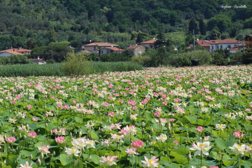 dettagli di toscana percorso fiori di loto a massarosa FOTO DI STEFANO CARDELLA IMG_0566 ok