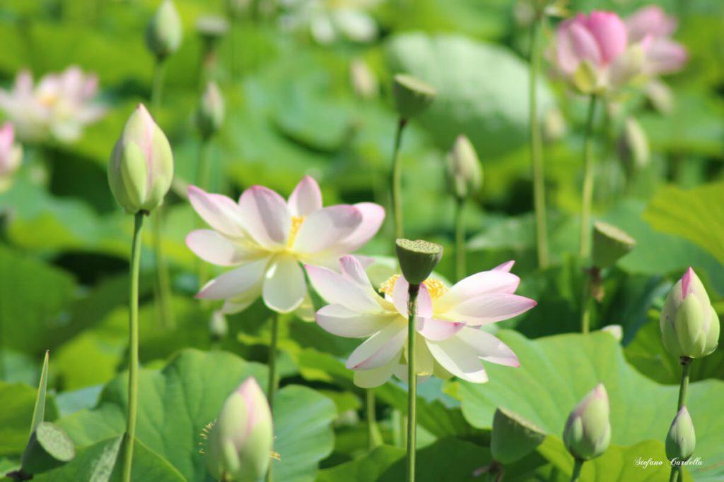 dettagli di toscana percorso fiori di loto a massarosa FOTO DI STEFANO CARDELLA IMG_0569 ok