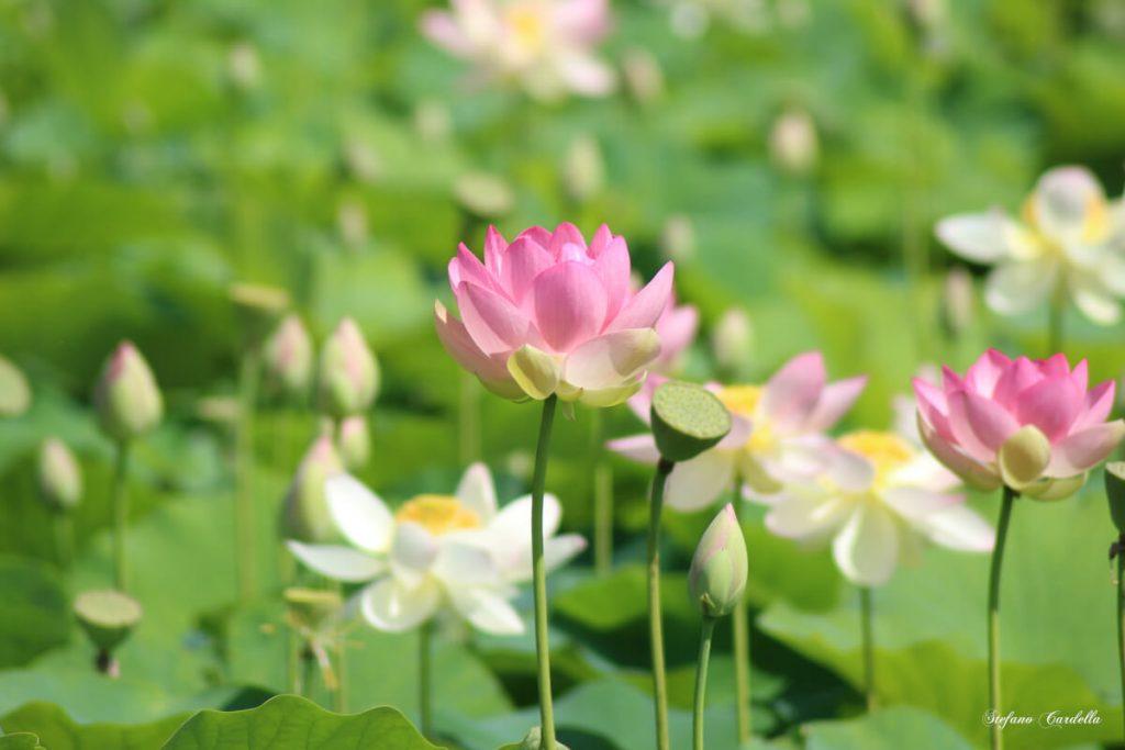 dettagli di toscana percorso fiori di loto a massarosa FOTO DI STEFANO CARDELLA IMG_0571 ok