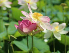 percorso fiori di loto a massarosa FOTO DI STEFANO CARDELLA